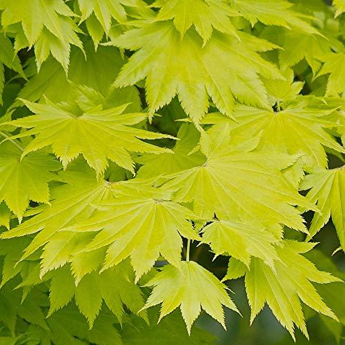 Acer shirasawanum 'Aureum' | Japanese Maple Deciduous Potted Trees for Small Gardens | Premium Bushy Plant Shrub Tree in Pot (50-70cm (Incl. Pot))