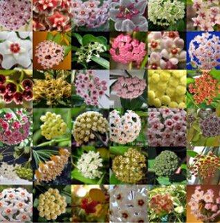 100pcs / sac Vente Hot arc Hoya Rare Graines Outdoor Blooming Bonsai plantes en pot de fleurs Maison et Jardin Livraison gratuite 2