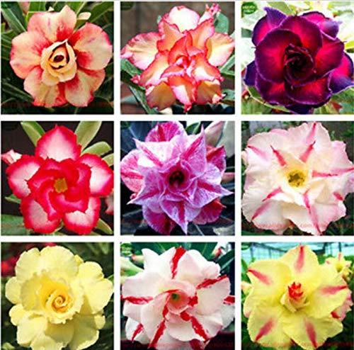 PLAT FIRM GRAINES DE GERMINATION: 10: Couleurs mélangées de la Rose du Désert, rare fleur d'adénium 10-100