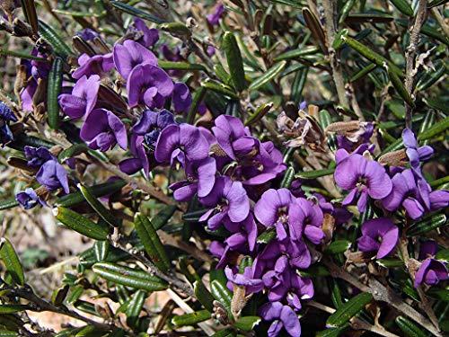 Portal Cool Rare 4 Seeds Of Hovea H919 Montana Montagne Graines de pois Violet Semillas SEMENTES