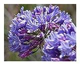 Agapanthus praecox ssp orientalis dwarf blue - Agapanthe - 10 graines