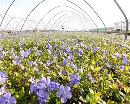 Vinca minor 50 Marie blau Immergrün Triebe 5/7 Topfgewachsen T9x9 Bodendecker winterharte Staude