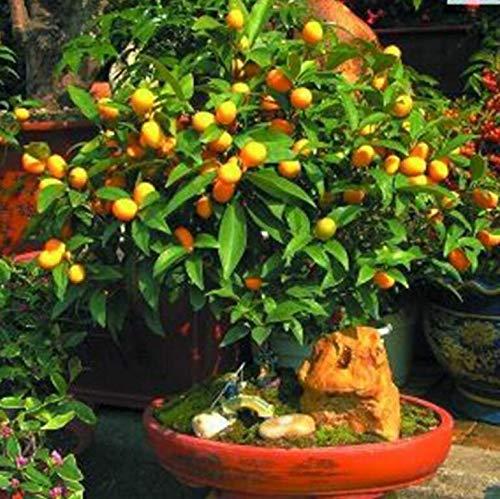 Portal Cool 30 + Extra: Seidige Mimose Albizia Julibrissin Rosea 15,30 Samen