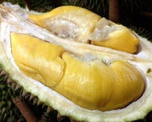 AGROBITS 2 graines Durian Durio Bombacacées Zibethinus Murray De Thaïlande M82