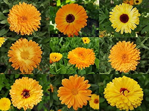 deutsche Ringelblumen Samen von gelb bis orangene Blüten, lat. Calendula, bienenfreundliche Heilpflanze mit gefüllter Blüte (500 Samen)