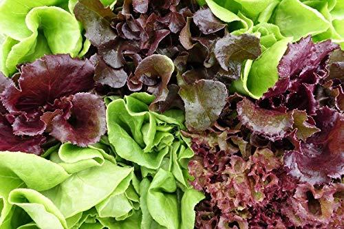 Sweet Mesclun mélange de variétés de salades de feuilles - graines