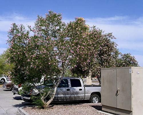 Somarac - Desert Willow Chilopsis Max 44% OFF 800 Purchase Fast Seeds Sh linearis