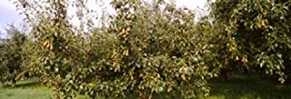 Posterazzi PPI147409S Pear trees in an orchard Hood River Oregon USA Poster Print 18 x 7