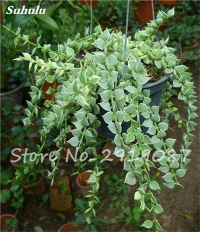 Pearl Chlorophytum Seeds 100 Pcs Hanging type de pot Chlorophytum fleurs Plantes d'intérieur air frais jardin résistant au froid 6