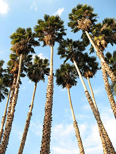 30 CALIFORNIE FAN PALMIER Petticoat désert de l'Arizona Washingtonia filifera Seeds