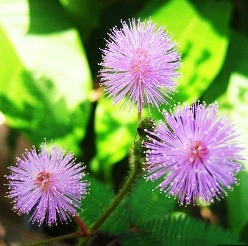 Paquet de 5 150 graines Bashful herbe Graines Mimosa Pudica Sensitive Feuillage Hot F002