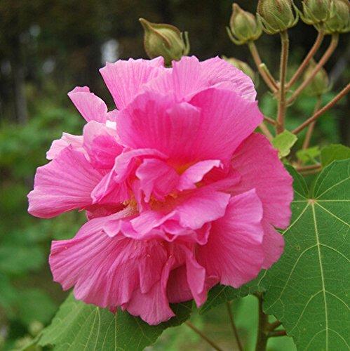graines d'hibiscus, Facile à cultiver de véritables hibiscus fleur graines 50pcs