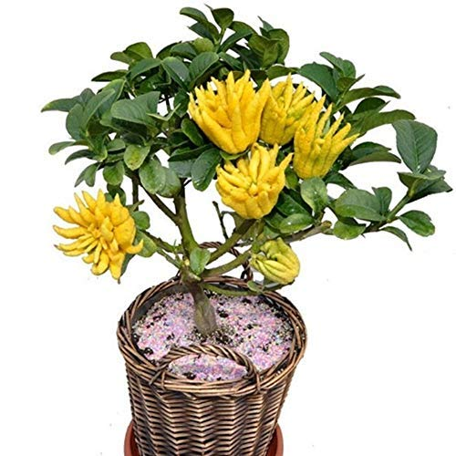 QHYDZ Garden-20/50pcs Raras Semillas Limonero 'Mano de Buda', un Arbol Llamativo Bonsai...