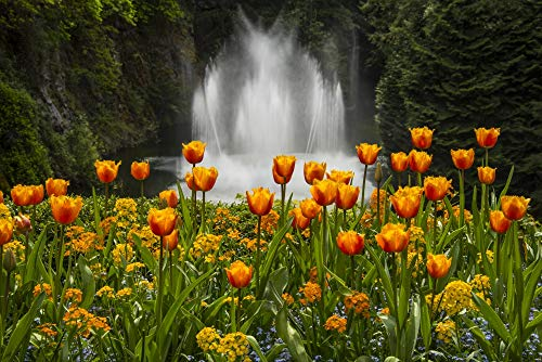 Posterazzi DPI12327417LARGE Water Fountain and Tulips at Butchart Gardens Victoria, British Columbia, Canada Photo Print, 38 x 24, Multi