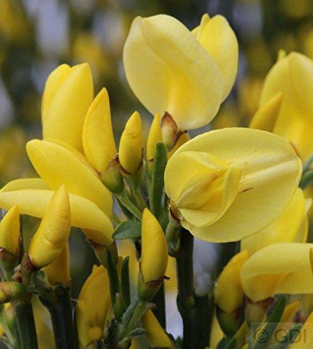 Elfenbein Ginster Allgold 30-40cm -...