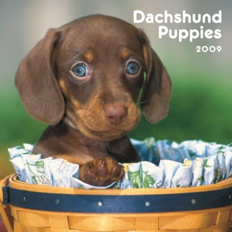 中間習慣完璧なDachshund Puppies 2009 Mini Calendar