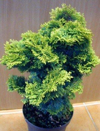 Muschelzypresse Chamaecyparis obtusa Nana Gracilis 15-20 cm breit im 1,5 Liter Topf