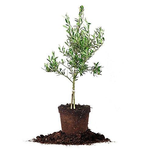 Arbequina Olive Tree - Live Plant,...