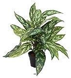 Artificielles.com - Aglaonema plante artificielle en pot H 37 cm très dense