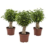 Plantas de interior de Botanicly – 3 × Ficus de hoja pequeña – Altura: 35 cm – Ficus benjamina Natasja