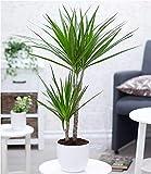 BALDUR-Garten Dracena'Marginata' ca. 70 cm hoch, 1 Pflanze Zimmerpflanze Drachenbaum