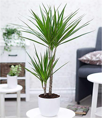BALDUR Garten Dracena Marginata ca. 70 cm hoch, 1 Pflanze Luftreinigende Zimmerpflanze Drachenbaum
