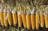 Maiskolben Mais Futtermais 10KG entspricht ca. 60 Kolben