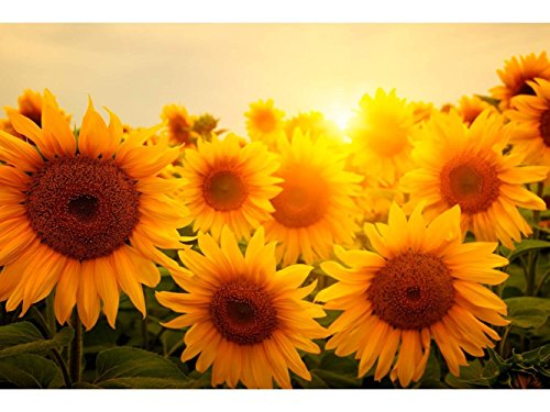 Oedim Fototapete Vinyl Wand Wand Sonnenblume | Fototapete für Wände | Wandbild | Dekoratives Vinyl | Verschiedene Maße 200 x 150 cm | Dekor Esszimmer, Wohnzimmer, Zimmer