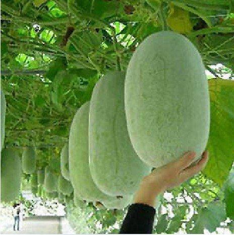 (Melon Big * Ambizu *) 10 Graines Graines de melon, cire Gourd Graines, Graines Melon Big par AMBIZU 99-98-EP
