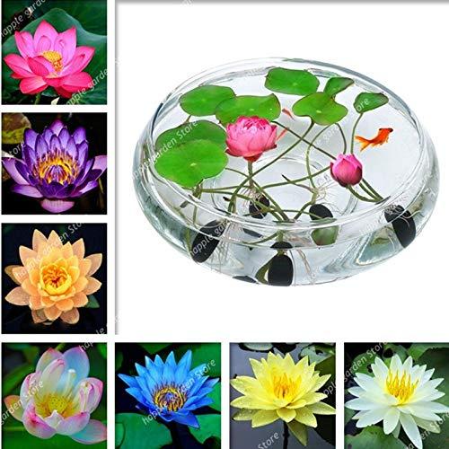 Ferry 5 Stück Japan Schüssel Blume Exotische Wasserlilie Wasser hydroponische Pflanzen, seltene Blume Bonsai-Anlage für Hausgarten-DIY planta: Mix