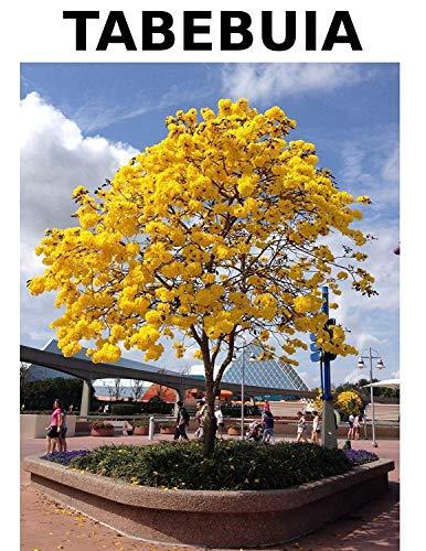 Homely Tabebuia gelbe Trompetenbaum-Samen