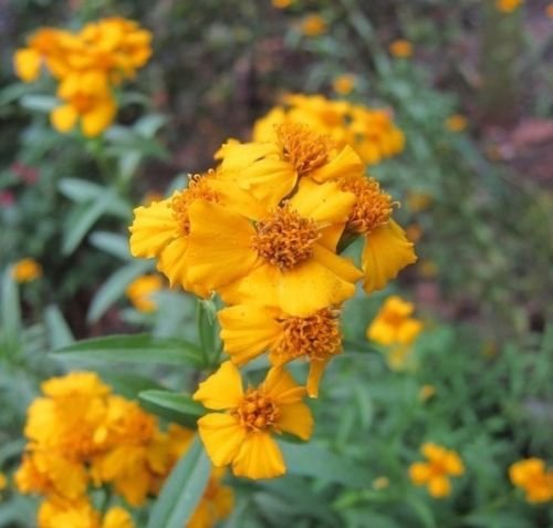 Mexican Mint Marigold Tagetes Lucida 50 Seeds