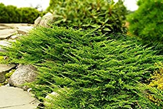 Prince of Wales Juniper - 15 Live Plants - Drought Tolerant Cold Hardy Evergreen Ground Cover