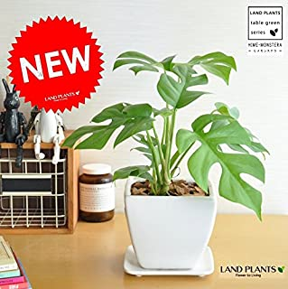 LAND PLANTS 【観葉植物】 ヒメモンステラ 白色台形陶器鉢