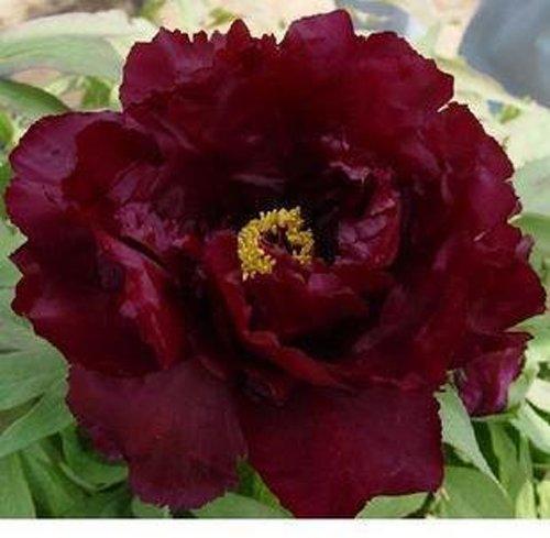 10 pcs/sac graines de pivoines Terrasse Cour Jardin Paeonia Suffruticosa Graines de fleurs vivaces plantes en pot pour le jardin de la maison 18