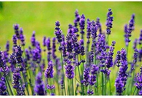 PLAT FIRM GRAINES DE GERMINATION: Kräuter 100 Lavendel Vera Samen Echte Lavendel, Lavandula angustifolia Englisch