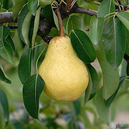 Williams Christ Birne Birnenbaum Tafelbirne Herbstbirne Obstbaum 120-150 cm