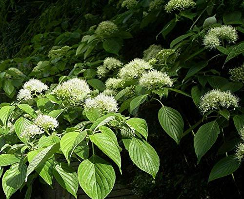 Riesen-Hartriegel Cornus controversa Pflanze 45-50cm Pagoden-Hartriegel Rarität