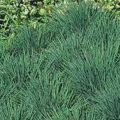 Blue Recommendation Hair Ranking TOP10 Grass koeleria Seeds glauca 125 jocad