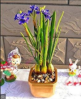 AGROBITS semillas 100pcs narciso (no bulbos de narcisos), semillas de flor del narciso plantas acuáticas, flor perenne para las mini plantas de jardín: 22