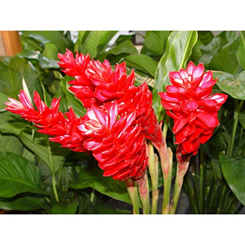 Ginger Plant Red Hawaiian Starter Plant M2