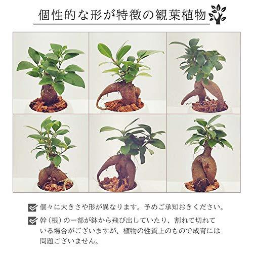 花のギフト社ガジュマルの木ガジュマル鉢植え多幸の木ガジュマルがじゅまるミニ観葉ホワイト