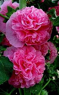alcea rosea double pink