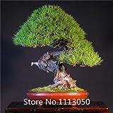 Negro: promoción Bonsai Seeds 50 paquetes Bonsai Tree Seeds Pinus Seeds Nigra, Fagus Sylvatica, Acer Palmatum, Acer Buergerianum, Diy Novel Se