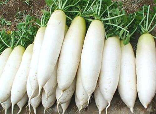 100 graines graines de carotte frais et légumes biologiques graines blanches Radis la qualité des semences Accueil Diy Plantation Livraison gratuite Potted