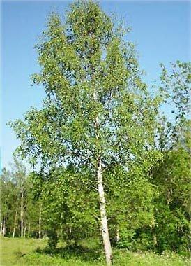 Baum des Jahres 2000 Sandbirke im Container