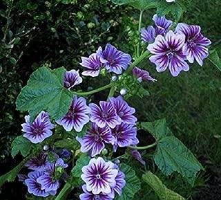 Temura 7 French Hollyhock Seeds-1192