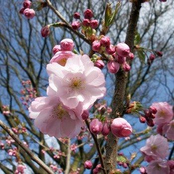 Frühe Zierkirsche 'Accolade' - Prunus Accolade - Hochstamm - Stammumfang 10-12 cm - Containerware - Garten von Ehren®