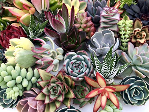 10 Assorted Live Succulent Cuttings