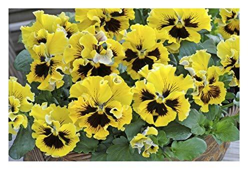 """Semi Premier Direct PAN23F Garden Pansy Winter Blossom Semi """"Frizzle Sizzle F1"""" - Giallo (confezione da 25)"""